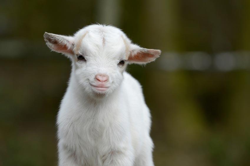 Monday Funday! – Goats