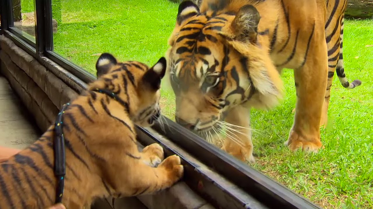 Did you know? – Tigers