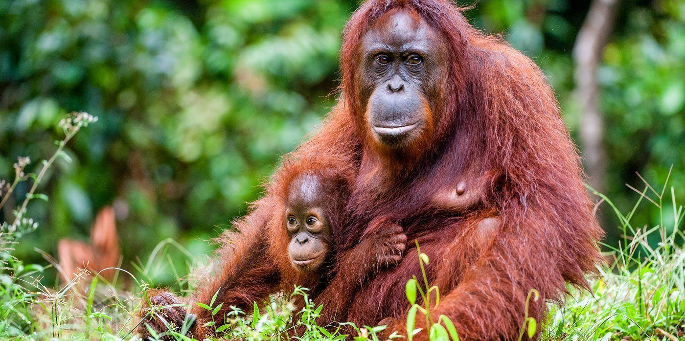 What is an orangutan?